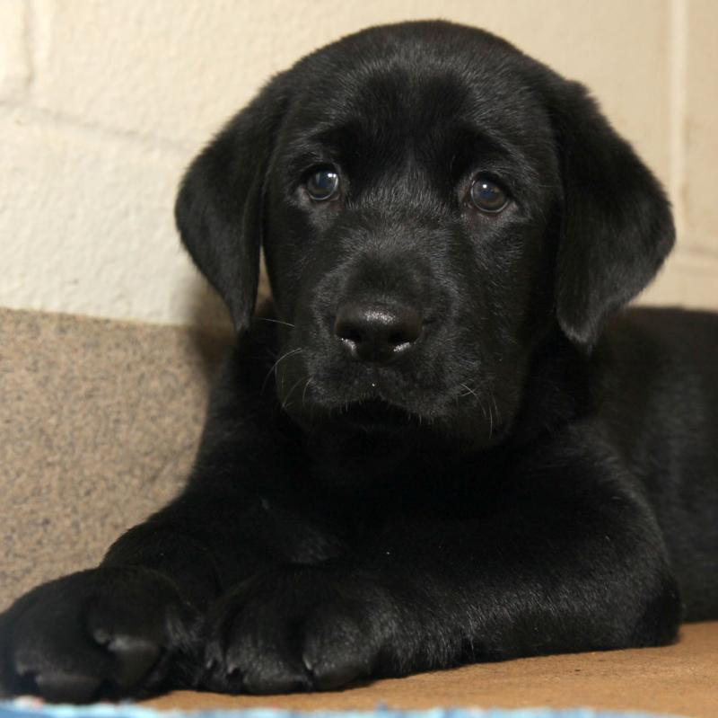 "Amani, a black Lab, will serve in the official role of ""calming playmate."""