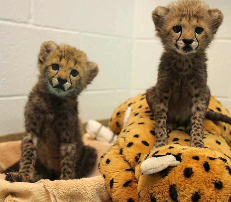 Meet Winspear and Kamau, two baby cheetahs at the Dallas Zoo.