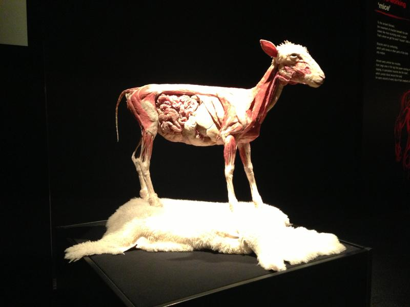 "A sheep, which has gone through a process called ""plastination,"" on display at the Perot Museum."