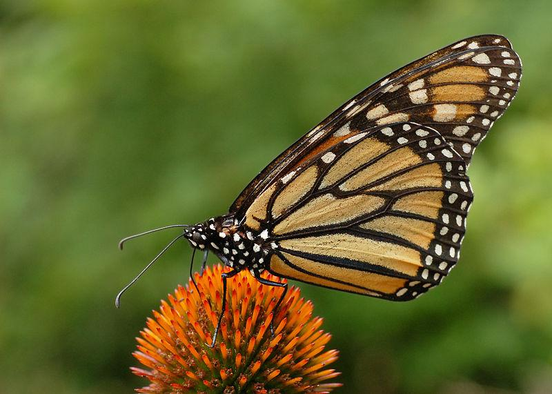 Monarchs lay their eggs on milkweed plants -- milkweed is crucial for monarch migration.