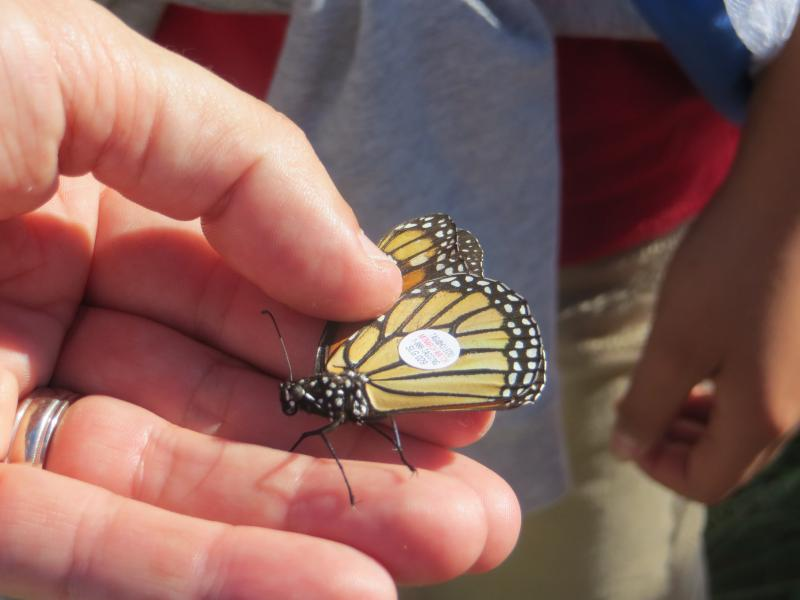 Rosemont elementary students tagged migrating monarchs.