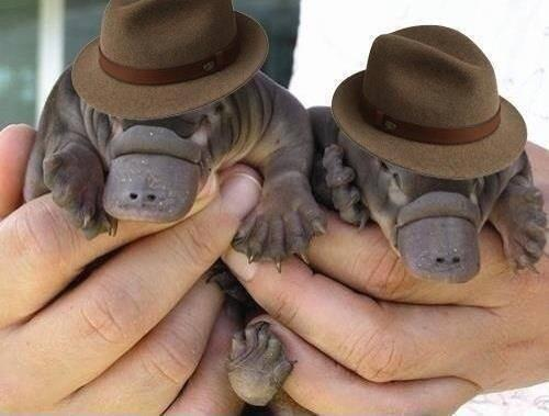 Two baby platypuses wearing fedoras -- not dressed up for Halloween, but aren't they adorable?