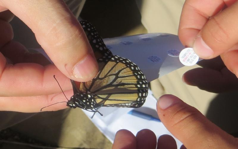 Students prepared to attach a tag with information for tracking the monarch's migration.