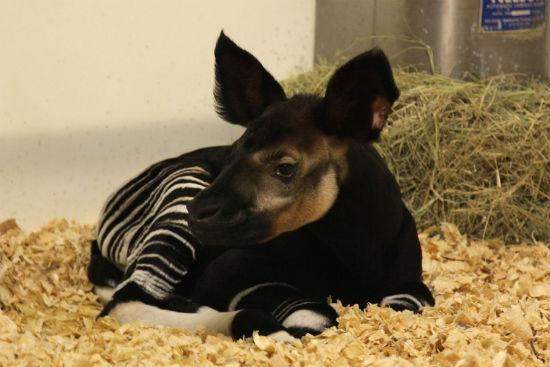 Meet Almasi, a baby okapi at the Dallas Zoo.