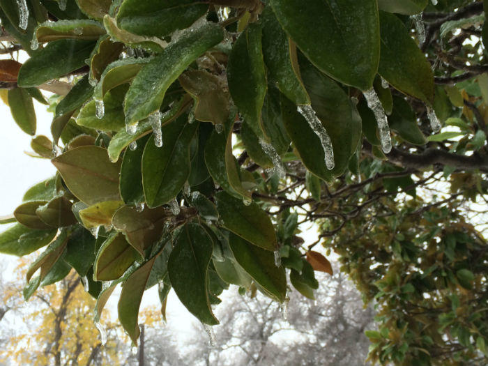 An ice-covered magnolia tree in north Oak Cliff.
