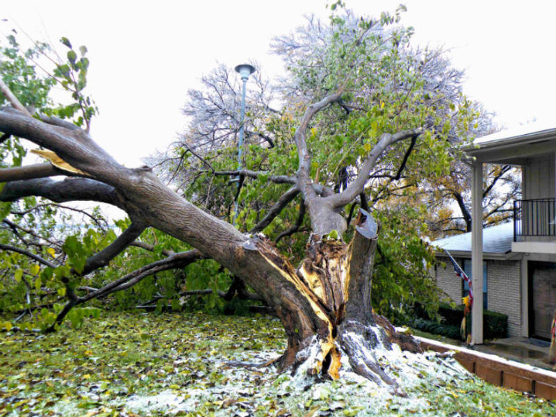 This tree in Garland didn't survive the ice storm.