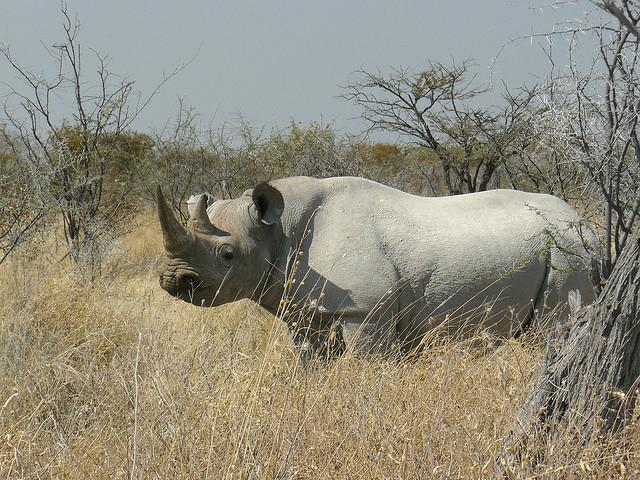 A black rhino on the plains of Namibia.
