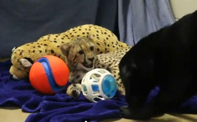 Winspear played with his puppy companion Amani, some balls, and a stuffed cheetah.