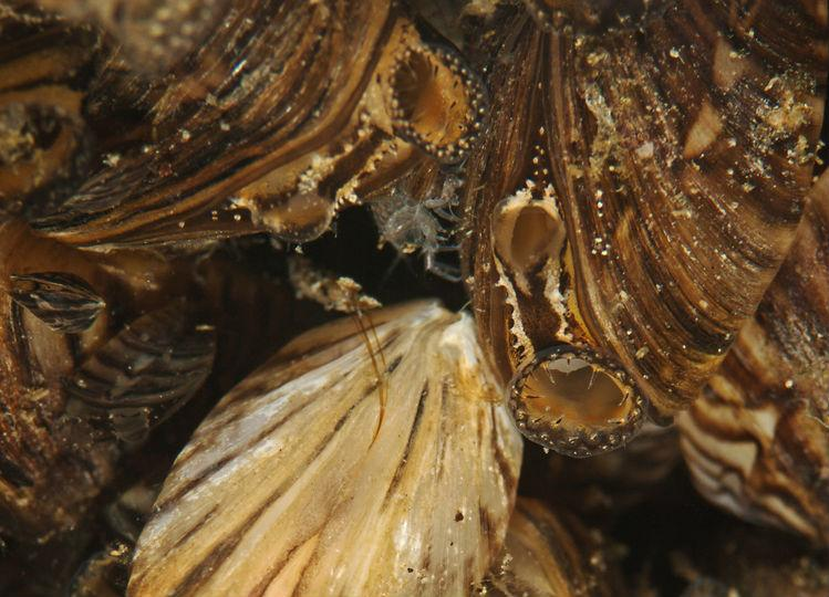 Zebra mussels have been detected in Lake Lavon.