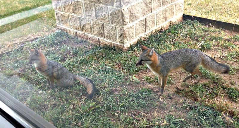 Meet Fox and Friend -- some of our furry visitors outside the KERA studios near downtown Dallas.