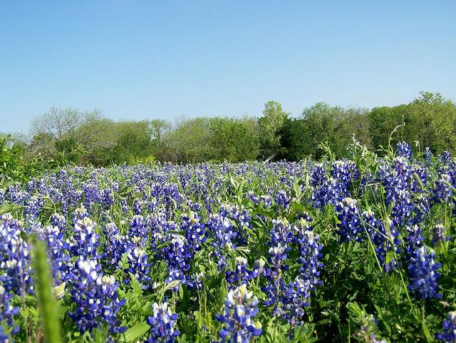 In Texas, springtime is near, which means wildflower season is approaching.