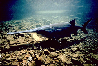 Decades after the paddlefish was almost completely wiped out, it's coming back to Caddo Lake in East Texas.