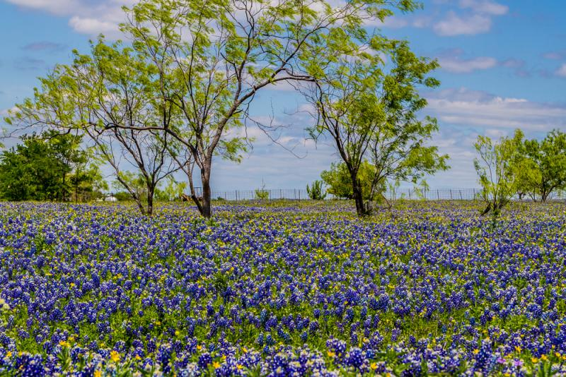 A classic Texas springtime scene: A field of beautiful bluebonnets.