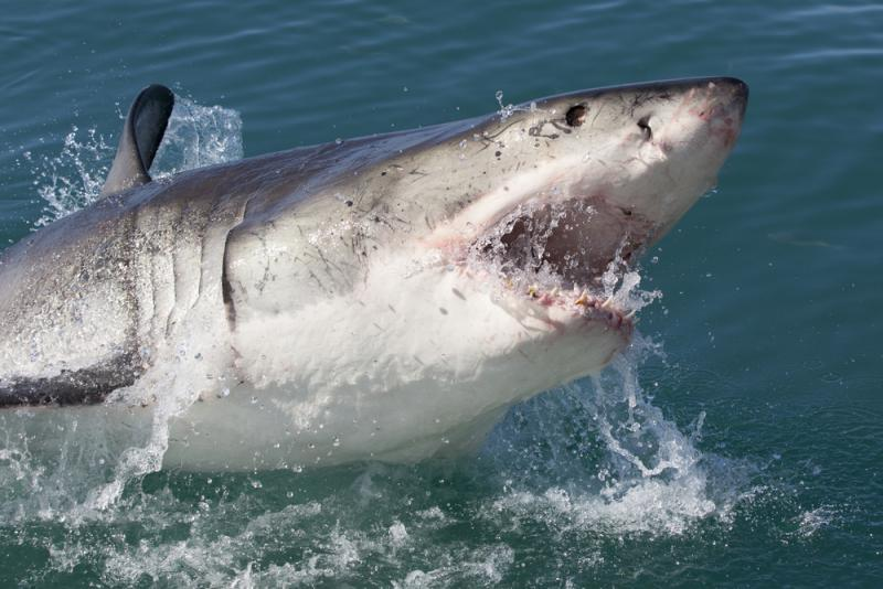 A great white shark (not this one, though) is headed to Texas. She's been named Katherine.