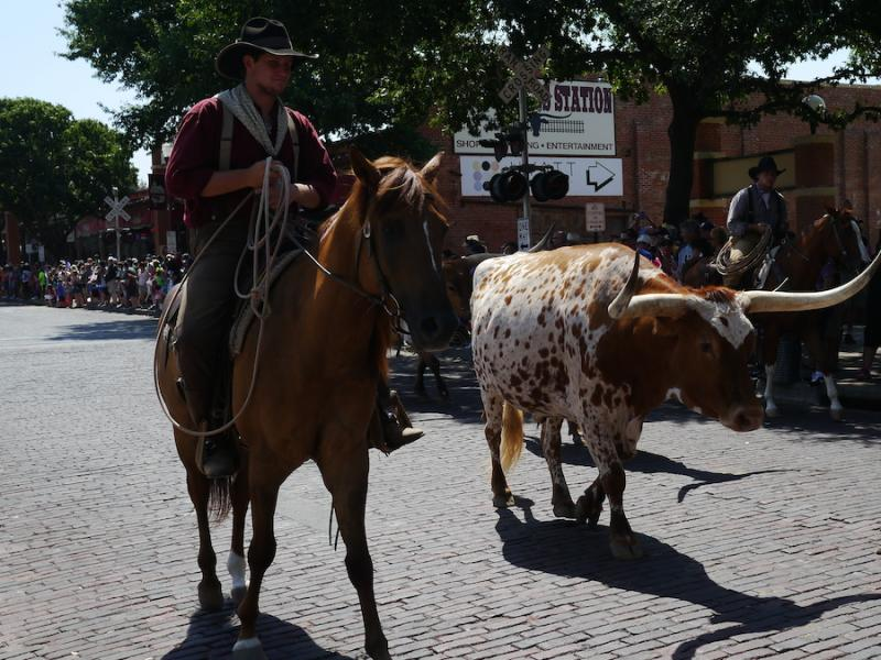 Texas Longhorns were a big attraction during Fort Worth's National Day of the American Cowboy.