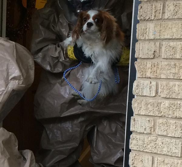 Bentley the dog was removed from his East Dallas home yesterday. He's been placed in a temporary home and is being monitored.