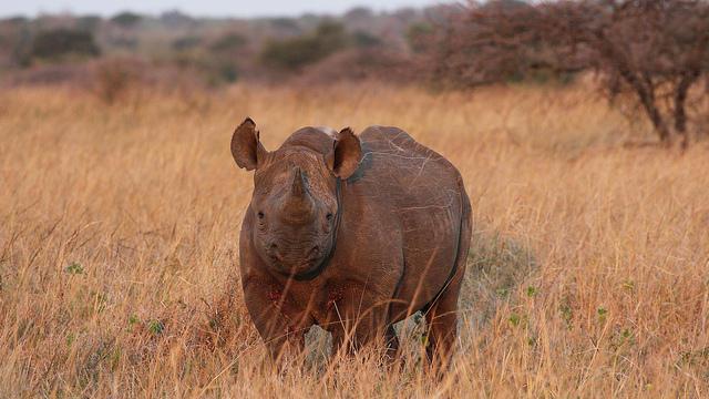 A black rhino.