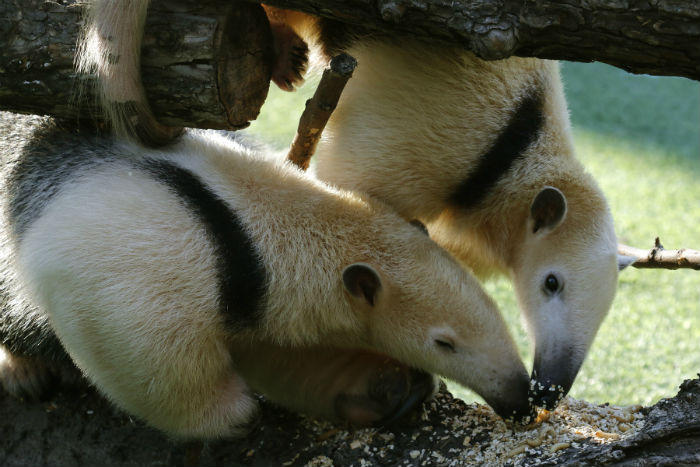 MJ, a tamandua or lesser anteater, is in town for some romance – he's been paired with Chispa, the Dallas Zoo's 2-year-old female tamandua. They recently enjoyed a wax worm meal together.