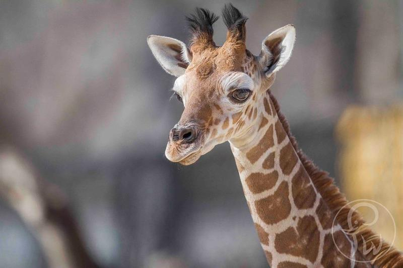 Aninimal Book: This Baby Giraffe In Fort Worth Wears Her Heart On Her ...