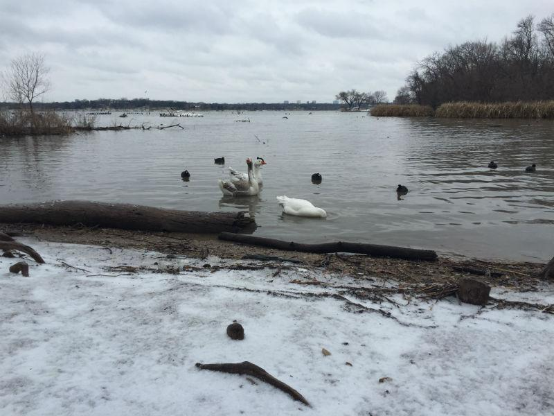 Geese and other water life survive the frigid water at White Rock Lake Monday.