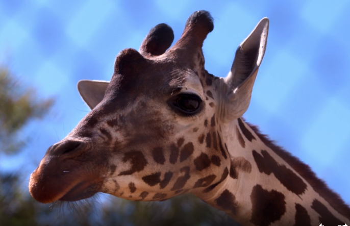 Katie, a Dallas Zoo giraffe, is about to give birth – and it's being streamed live on Animal Planet.