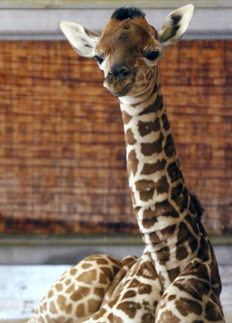 The Dallas Zoo's baby giraffe has a name: Kipenzi.