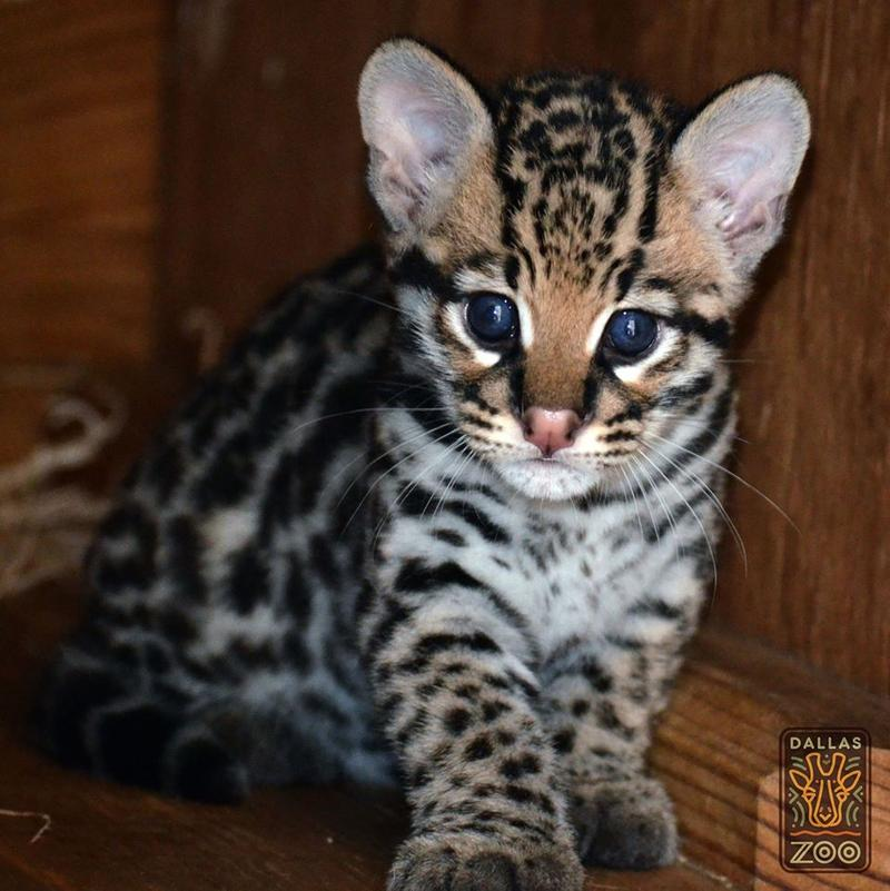 The Dallas Zoo has a baby ocelot. Zookeepers will check out the baby in the next few days – and will soon give the kitten a name.