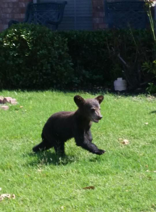 Three-month-old black bear walks around residential area of Corinth Thursday before being captured by animal control.