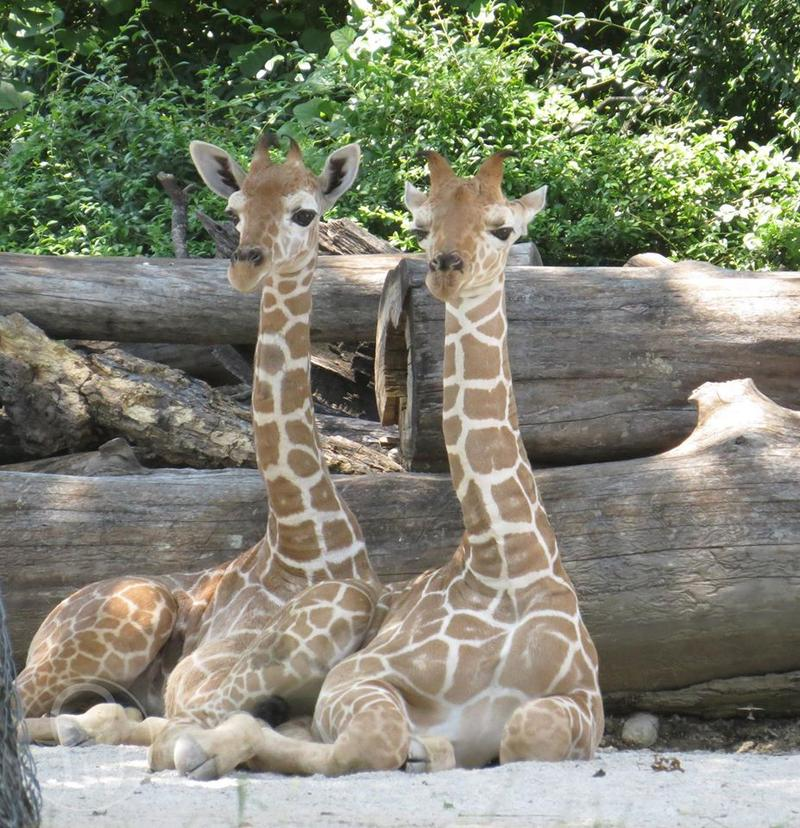 Willie, left, and Waylon explored their giraffe exhibit this week at the Fort Worth Zoo.