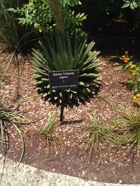 The agave plant looked just like this for years. The flower stalk didn't grow until April of this year.