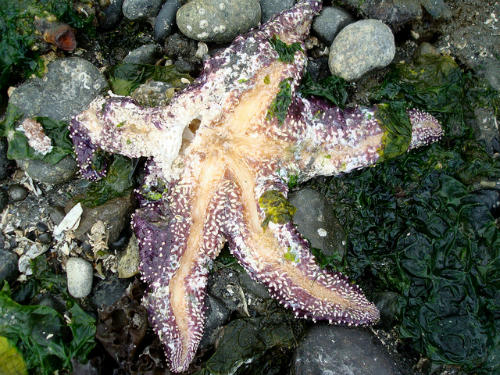 A sea star in late stages of sea star wasting disease.