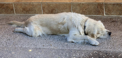 This time of year is especially hard for dogs. Texas pavement in the dead of summer can range from 120 to 160 degrees.