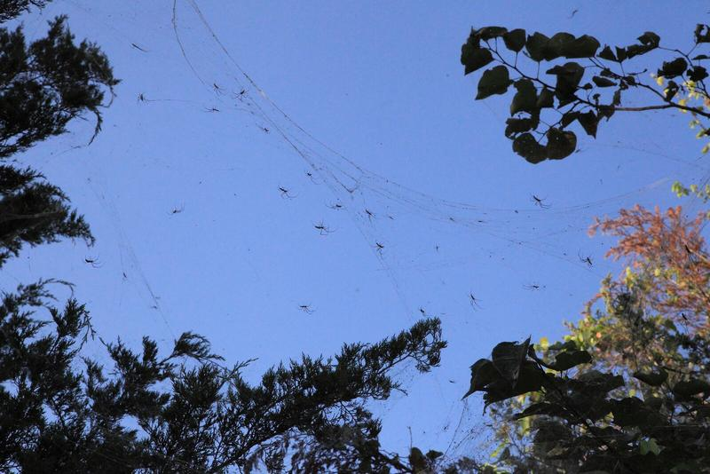 Long-jawed spiders hunting from a communally built mega-web near Lake Ray Hubbard in Rowlett.