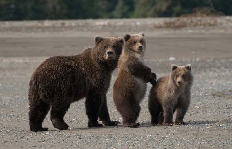 Coastal brown bears in Alaska.