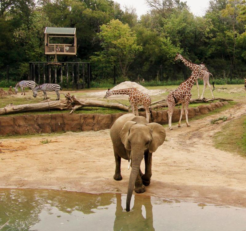 Elephants mingle with zebras and giraffes at the Dallas Zoo.