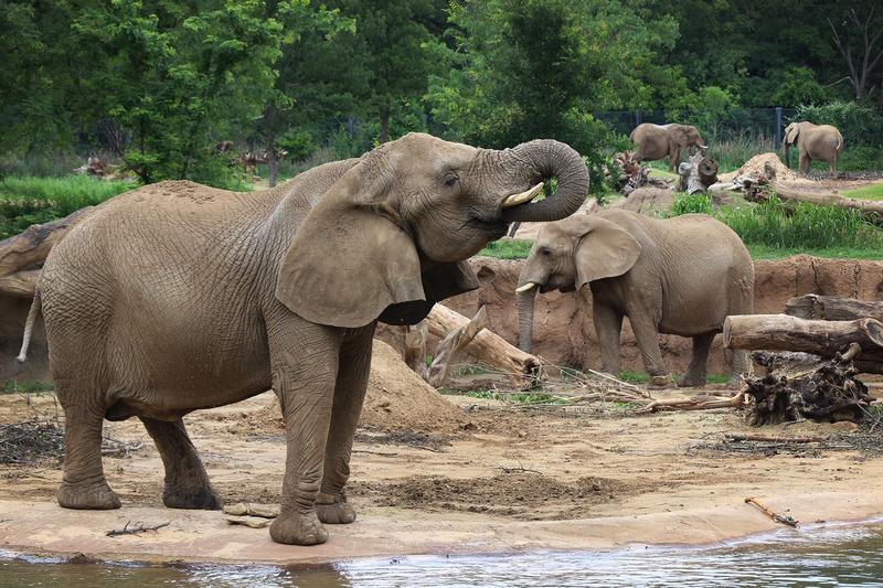 "Gypsy is one of four geriatric elephants currently at the Dallas Zoo. They're called the ""Golden Girls."""
