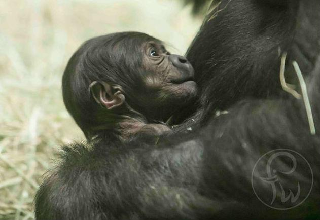 Fort Worth Zoo officials on Wednesday announced the birth of the male gorilla to first-time parents Gracie and Elmo.