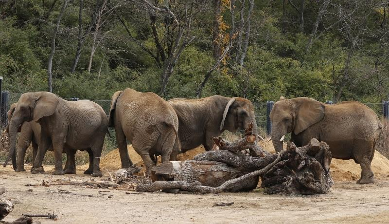 Elephants greeting each other on the Savanna Exhibit at the Dallas Zoo in December 2014.