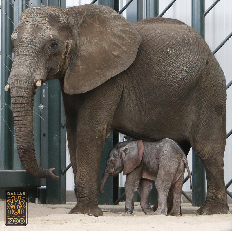 This is the first birth of an African elephant calf in the U.S. in nearly two years.