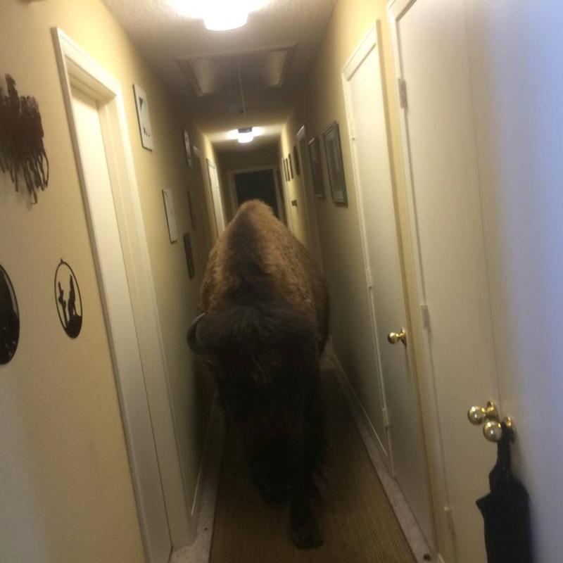 "Bullet, an 8-year-old bison, barged into a house. ""The back door blew open and Bullet helped herself into the house,"" Karen Schoeve wrote on Facebook."
