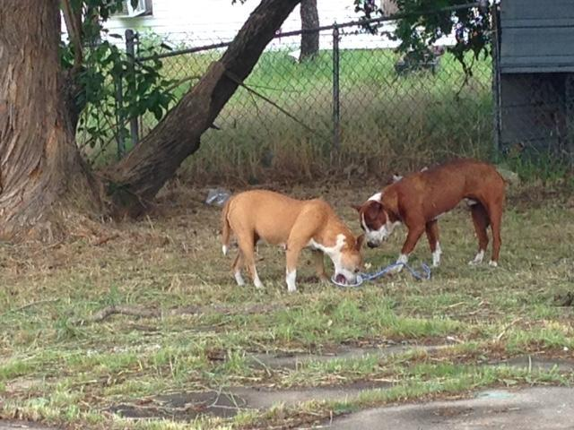 Two stray dogs in southeast Dallas, eating food a volunteer rescuer brought.