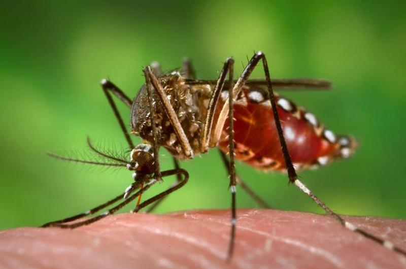 The aedes aegypti mosquito.