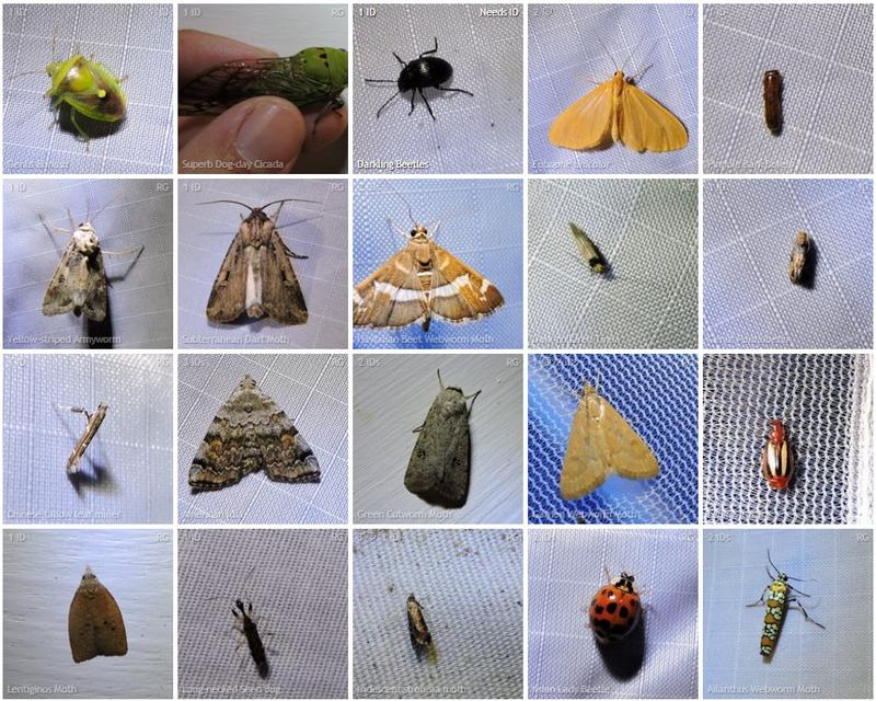 Some of the observations from the moth-ing citizen science event put on by Sam Kieschnick and the Texas Parks and Wildlife Department in East Dallas.
