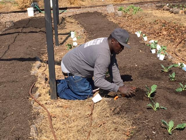 Farm manager Patrick Wright plants a root vegetable called kohlrabi.
