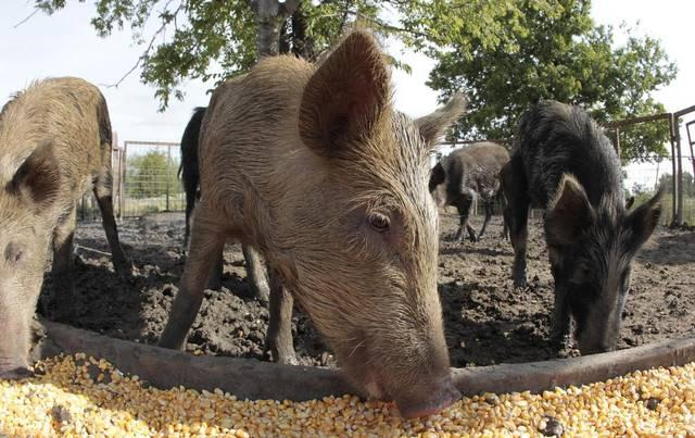 Feral hogs, shown here at a ranch near Corsicana in 2012, have cost farmers millions in damage, Texas Agriculture Commissioner Sid Miller said.