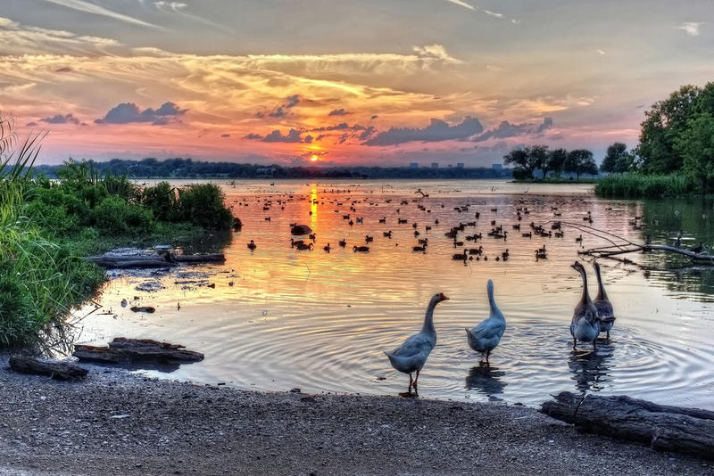 Geese at Sunset Bay at White Rock Lake in Dallas. Photo dated July 2013.