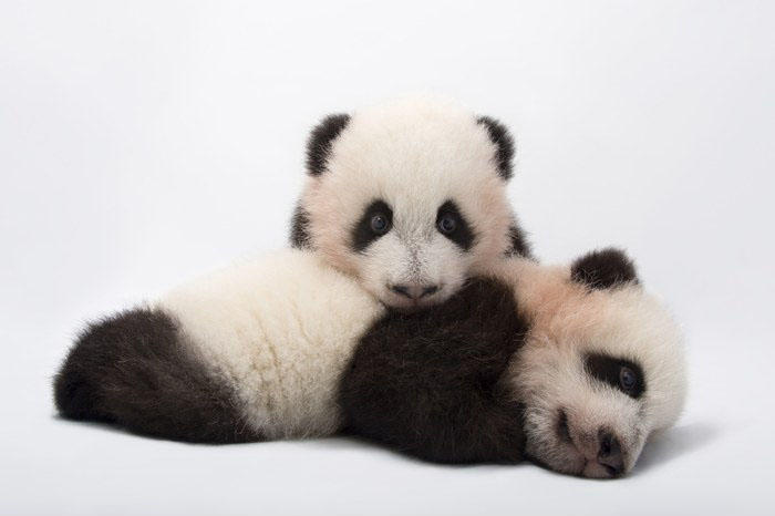 Mei Lun and Mei Huan, the twin giant panda cubs at Zoo Atlanta.