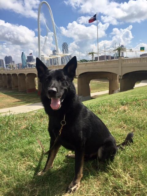 Yoll works as a patrol-narcotics detector dog with Senior Cpl. Susan Millard.