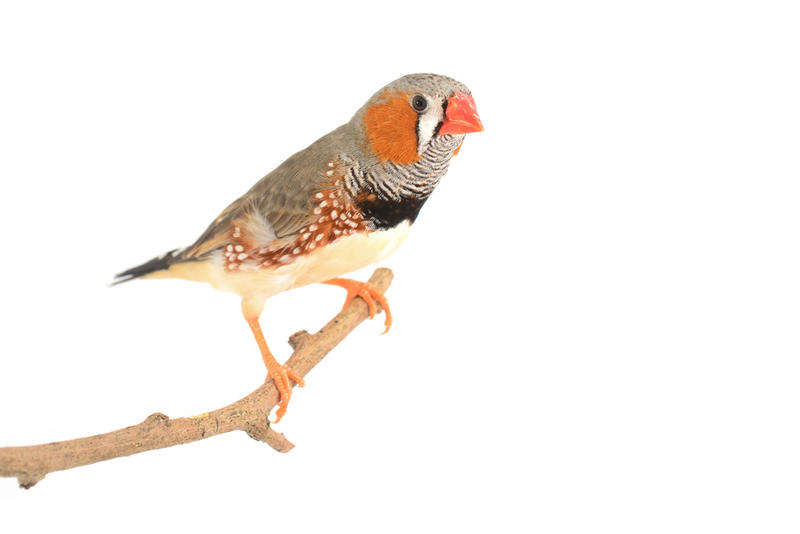 Researchers at UT Southwestern used zebra finches to study how the birds — and young humans — imitate vocalizations to learn languages.
