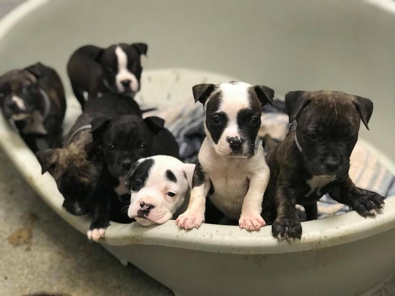 These puppies are too young to adopt, but in order to keep them until they're ready for a permanent home, Dallas Animal Services needs people to adopt older dogs. More are coming in every day, the shelter says.
